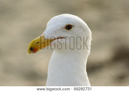 Closeup Of A Seagull
