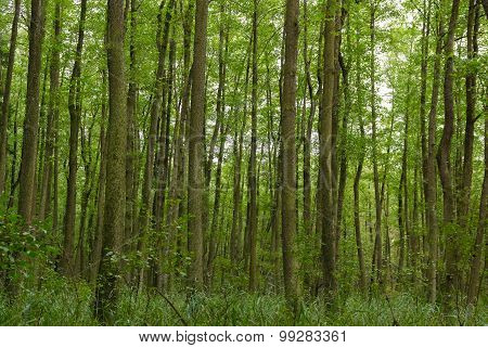 Thick Green Forest