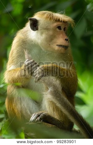 Macaque Holding It's Tail