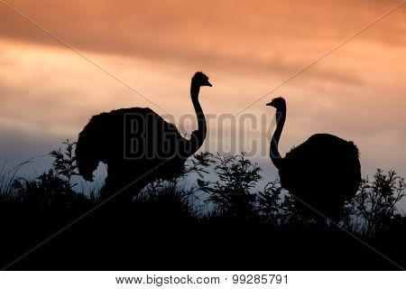 Ostrich Pair Silhouette