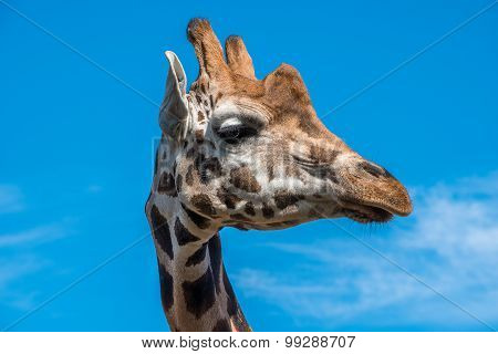 Close Up Photo Of A Rothschild Giraffe Head