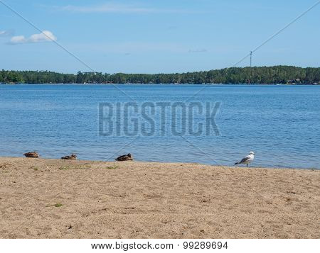 Seagull And Canadian Geese On The East Gull Lake Shore 3