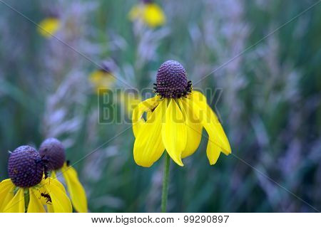 Rough Coneflower