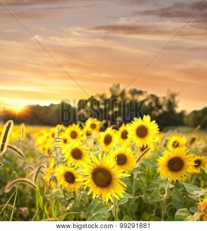 Selective Focus Sunflower Field At Sunset