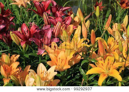 Liliums in the garden