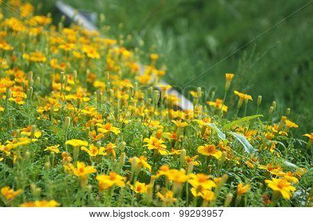 Curbing Marigold
