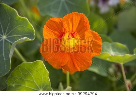 Nasturtium. Bright orange flowers in the garden