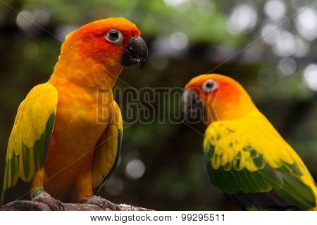 Portrait of sun conure