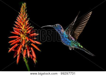 Hummingbird With Tropical Orange Flower Kniphofia