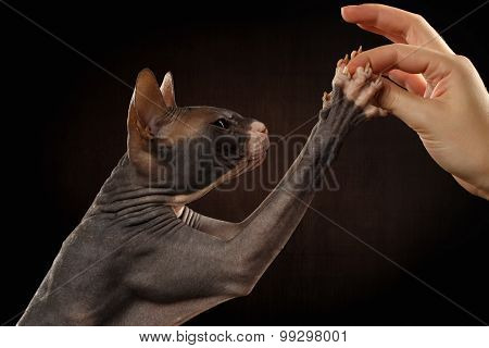 Closeup Sphynx Cat In Profile Reaching Paws To Human Hand