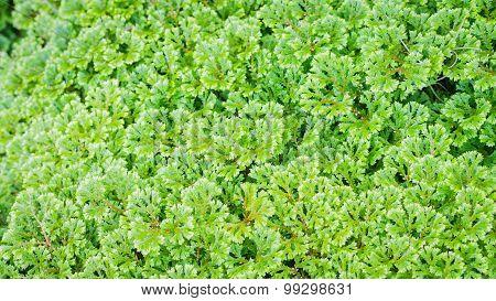 Closeup Fern Leaf Background