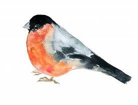 image of cardinal-bird  - watercolor drawing bird - JPG