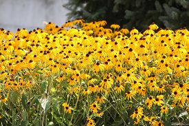 pic of black-eyed susans  - Thick blanket of a pretty yellow flower  - JPG