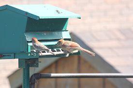 picture of cardinal-bird  - Northern Cardinal female  - JPG