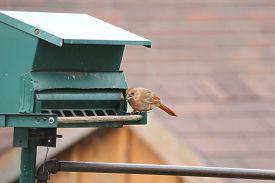stock photo of cardinal-bird  - Northern Cardinal female  - JPG