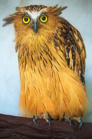 foto of owl eyes  - Buffy Fish Owl portrait - JPG