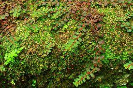 foto of fern  - Fern and Moss Vegetation on Wall at the Tikal Mayan Ruins in Guatemala - JPG