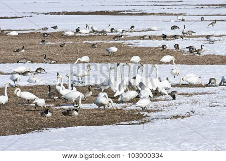 Whooper swan, Canada geese and other birds rest on a field, bird migration.