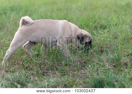 Pug puppy sniffing the grass
