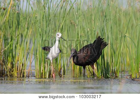 Glossy Ibis And Black-winged Stilt Near The Lake Reads