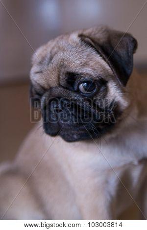 The pug puppy