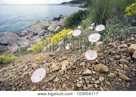 Delicate Flowers Of Bindweed.