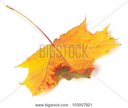 Multicolor Autumn Maple-leaf On White Background