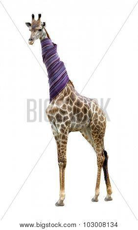 Giraffe in a scarf isolated on white background