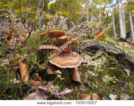mushrooms and heather