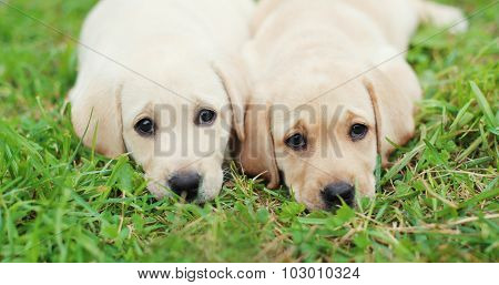 Two Puppies Dogs Labrador Retriever Lying Together On Grass Closeup