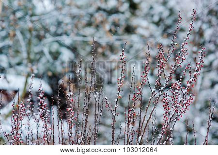 frosty barberry branches with red berries in snowy winter garden