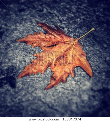 Dry maple leaf on wet asphalt, abstract natural background, autumn nature, season changes concept