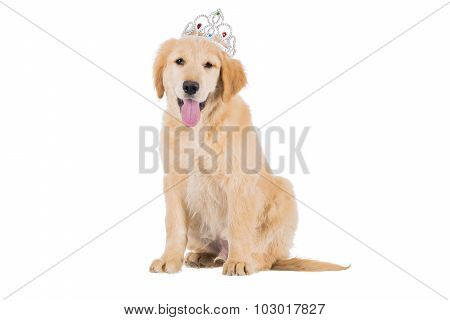 Golden Retriever Puppy Sitting With Crown Looking Straight Isolated On White