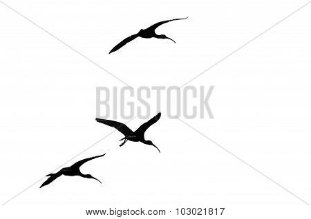 Three White-faced Ibis Silhouetted On A White Background