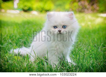 White Kitten Sitting In The Grass.