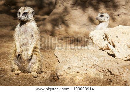 Two Alert Meerkats