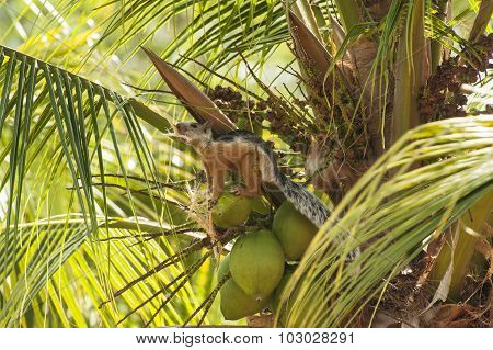 Tropical Squirrel Holds A Piece Of Coconut Shell