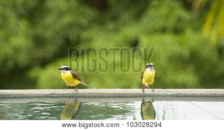 Two White Ringed Flycatchers Rest By A Pool