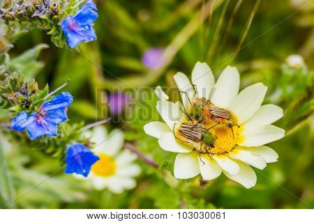 Colorful beetles on flower in Morocco
