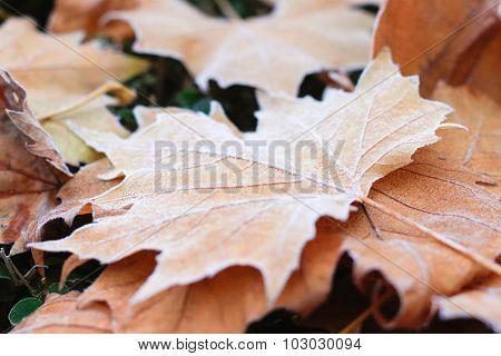 Frozen fallen leaves in autumn