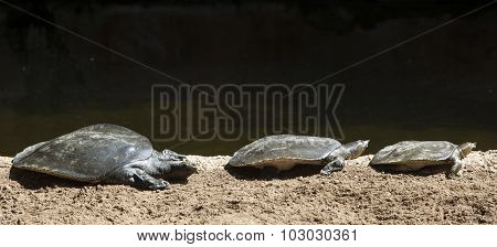 Three African Softshell Turtles