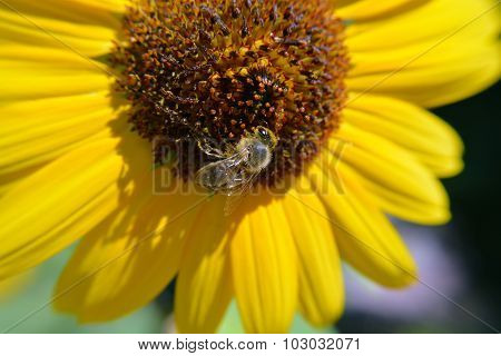 Honey Bee Pollinates a Sunflower