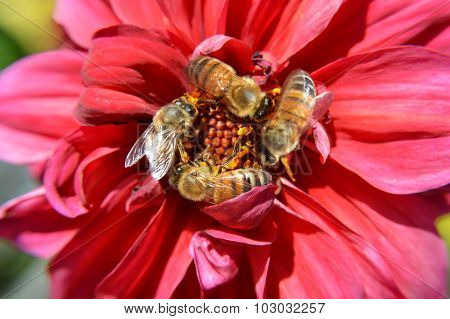 Bees Swarm Pollinate a Red Flower