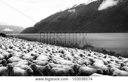 Herd Sheep Scenic Lake Mountain Farm Livestock Concept