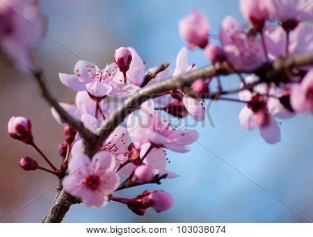 Plum Blossoms (Prunus cerasifera)