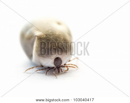 Shot of tick on white background, soft focus, shallow depth of field