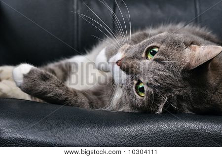 Big Cat Is Lying On A Chair
