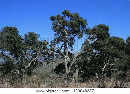 Douglas Preserve Oaks