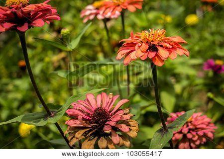 Multicolored Gerberas