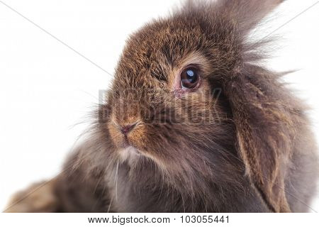 Close up portrait of a cute lion head rabbit bunny looking at the camera.